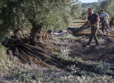 Harvesting at grove Carlota