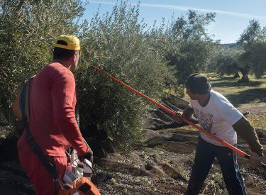 Using traditional method to pick up olives