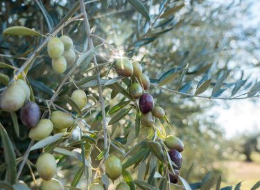 Best moment to pick olives Green Gold Olive Oil Co