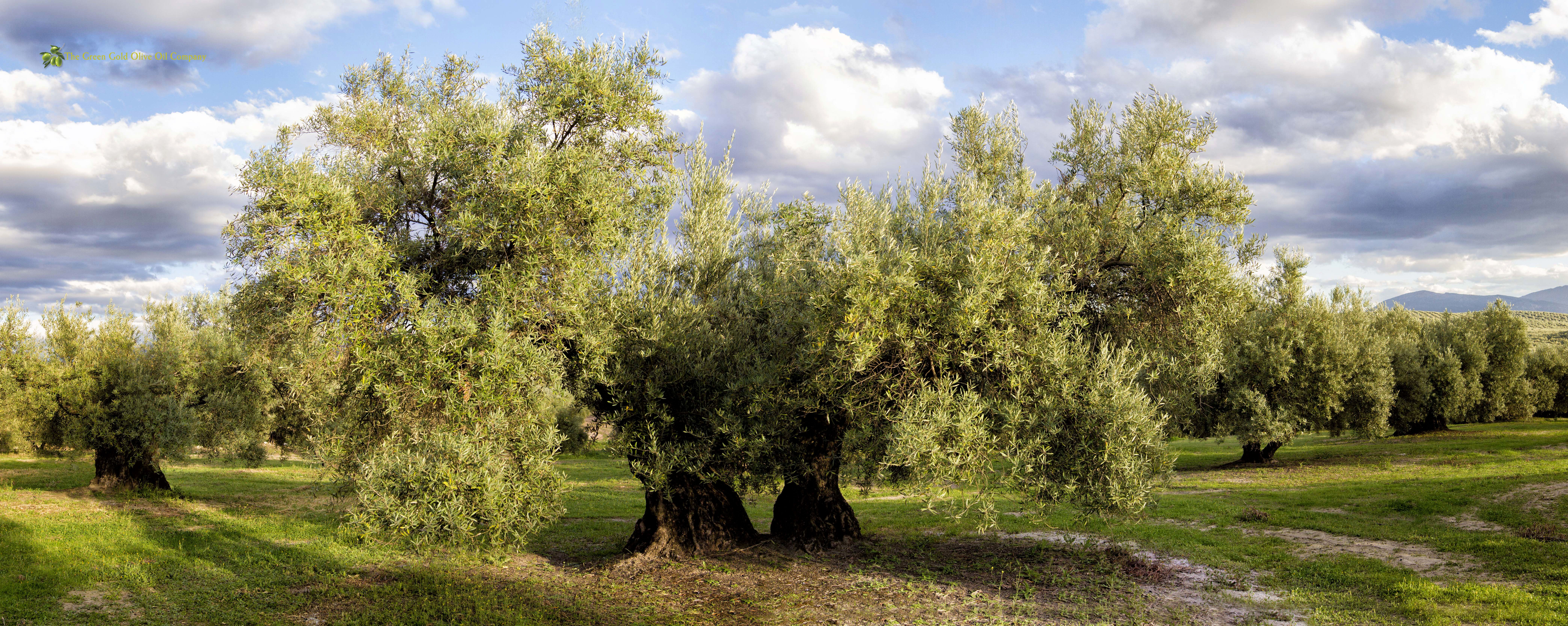 OLivar Variedad Picual - The Green Gold Olive Oil Company