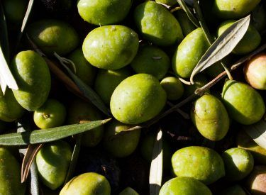 Aceituna Variedad Picual de The Green Gold Olive Oil Company